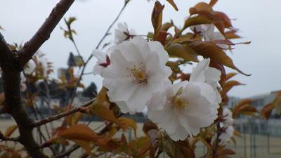 エバヤマザクラの花