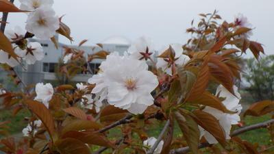 エバヤマザクラの花2