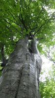 癒しの森のブナ
